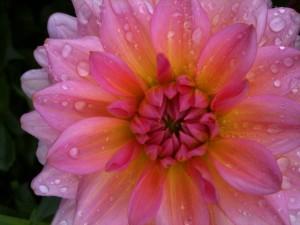 Georgine fra pluk selv blomster