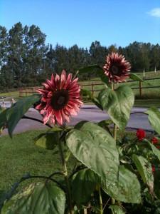 Røde solsikker fra pluk selv blomster