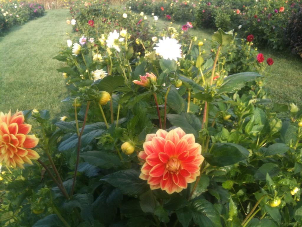 pluk selv blomster